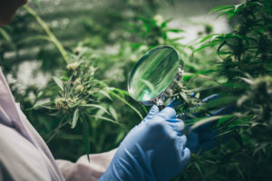 A lab tech looking at the the leaves and flowers of a cannabis, hemp weed in a laboratory with a magnifying glass